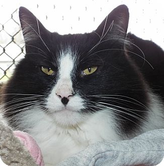 Domestic Mediumhair Cat for adoption in Grants Pass, Oregon - Winston