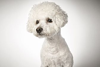 Bichon Frise Mix Dog for adoption in New York, New York - Gerard