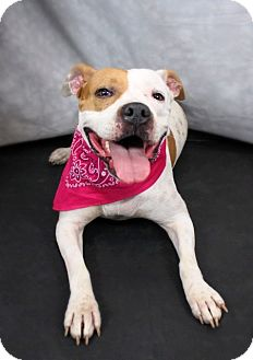 Pit Bull Terrier Dog for adoption in Louisville, Kentucky - Megan