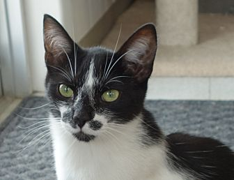 Domestic Shorthair Cat for adoption in Greenfield, Indiana - Gaston