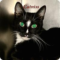 Adopt A Pet :: Catniss - El Cajon, CA