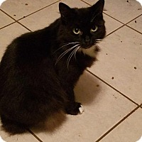 Domestic Mediumhair Cat for adoption in Spring, Texas - Onyx