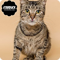 Domestic Shorthair Cat for adoption in Wyandotte, Michigan - Starbuck