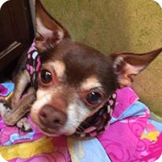 Chihuahua Mix Dog for adoption in Red Lion, Pennsylvania - RHETT
