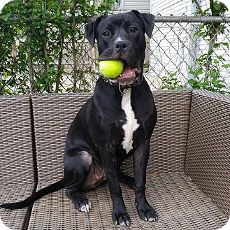 American Staffordshire Terrier/Labrador Retriever Mix Dog for adoption in Chicago, Illinois - Greta
