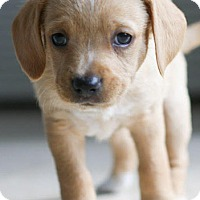 Adopt A Pet :: Cinnamon's baby Scotty - Miami, FL