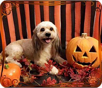 Wheaten Terrier/Cocker Spaniel Mix Dog for adoption in Sharon, Connecticut - Max