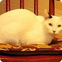 Domestic Shorthair Cat for adoption in Gettysburg, Pennsylvania - Sage