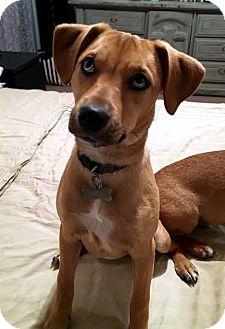 Shepherd (Unknown Type)/Labrador Retriever Mix Puppy for adoption in Detroit, Michigan - Blue Eyes-Adopted!