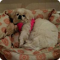 Pekingese Dog for adoption in Portland, Maine - Samantha