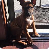 Adopt A Pet :: Biscuit - BONITA, CA