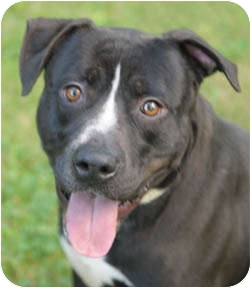 Labrador Retriever/American Staffordshire Terrier Mix Dog for adoption in Chicago, Illinois - Stryker
