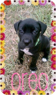 American Pit Bull Terrier/Labrador Retriever Mix Puppy for adoption in Orlando, Florida - Oreo