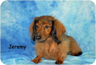 Dachshund Dog for adoption in Ft. Myers, Florida - Jeremy