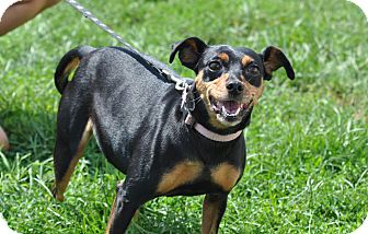 Miniature Pinscher Mix Dog for adoption in New Cumberland, West Virginia - Buttons