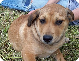 Labrador Retriever/Shepherd (Unknown Type) Mix Puppy for adoption in Glastonbury, Connecticut - CASTLE