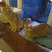 Adopt A Pet :: Gus & Chance - Arlington, VA