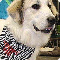 Adopt A Pet :: Jaicee  *New - Oklahoma City, OK