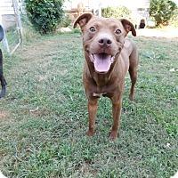 Adopt A Pet :: Pinto - Lebanon, CT