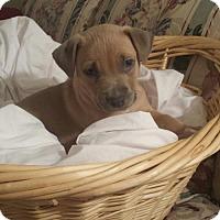 Adopt A Pet :: Tp Litter - Newman - Livonia, MI