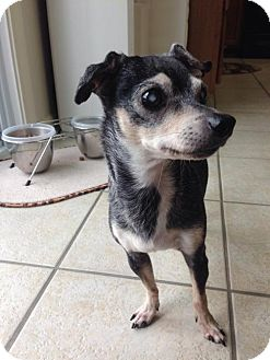 Chihuahua Dog for adoption in Franklin, Indiana - Etta James (I'm Blind)