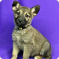 Adopt A Pet :: SAMANTHA - Westminster, CO