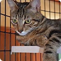 Domestic Shorthair Cat for adoption in San Diego, California - Miriam