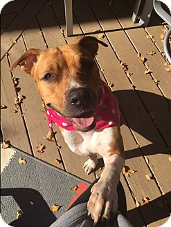 Boxer/Staffordshire Bull Terrier Mix Dog for adoption in Foster, Rhode Island - Daisy Doodle