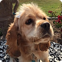 Adopt A Pet :: shia - Santa Barbara, CA