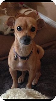 Chihuahua Mix Dog for adoption in West Palm Beach, Florida - Rita