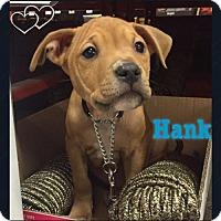 Pit Bull Terrier Dog for adoption in New York, New York - Hank (MD)