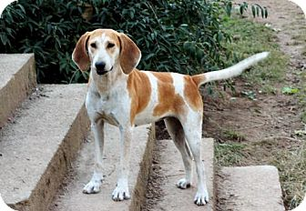 English (Redtick) Coonhound Mix Dog for adoption in Norfolk, Virginia - LADY RACHAEL