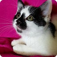 Domestic Mediumhair Kitten for adoption in Akron, Ohio - Groucho Kitten