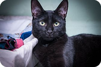 Domestic Shorthair Kitten for adoption in New York, New York - Sugar