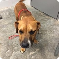 Boxer Mix Dog for adoption in Paducah, Kentucky - Mallory