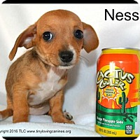 Adopt A Pet :: Nessie - Simi Valley, CA