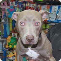 Adopt A Pet :: Buster - Brooklyn, NY