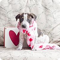 Adopt A Pet :: Puff Puff - Chandler, AZ
