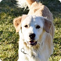Golden Retriever Dog for adoption in Georgetown, Kentucky - Lola