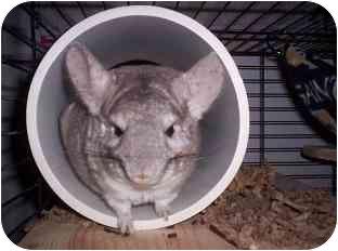 Chinchilla for adoption in Avondale, Louisiana - Houdini