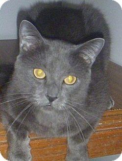 Domestic Shorthair Cat for adoption in Hamburg, New York - Griffen