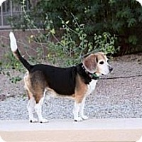 Adopt A Pet :: Bailey Blue - Phoenix, AZ