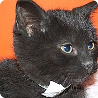 Adopt A Pet :: STACY - SILVER SPRING, MD