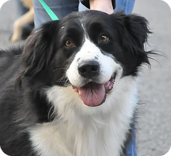 Becker | Adopted Dog | Middletown, NY | Bernese Mountain ...