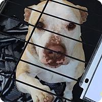 Adopt A Pet :: Bugz - Surprise, AZ