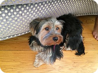 Yorkie, Yorkshire Terrier/Poodle (Miniature) Mix Puppy for adoption in Oakland, California - PETEY
