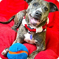Adopt A Pet :: Ambrosia - Chattanooga, TN