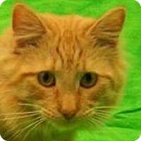 Adopt A Pet :: Simba   URGENT - St. Charles, MO