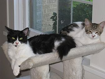 Domestic Longhair Cat for adoption in Houston, Texas - Layla