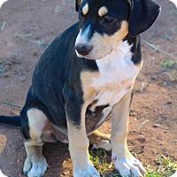 Adopt A Pet :: Coonhound Boy Pup 3 - Scottsdale, AZ